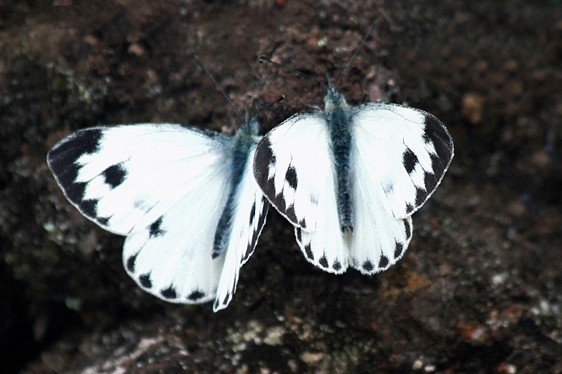 Maraiyur India  city images : Your trail: > Home > Indian Cabbage White Pieris canidia