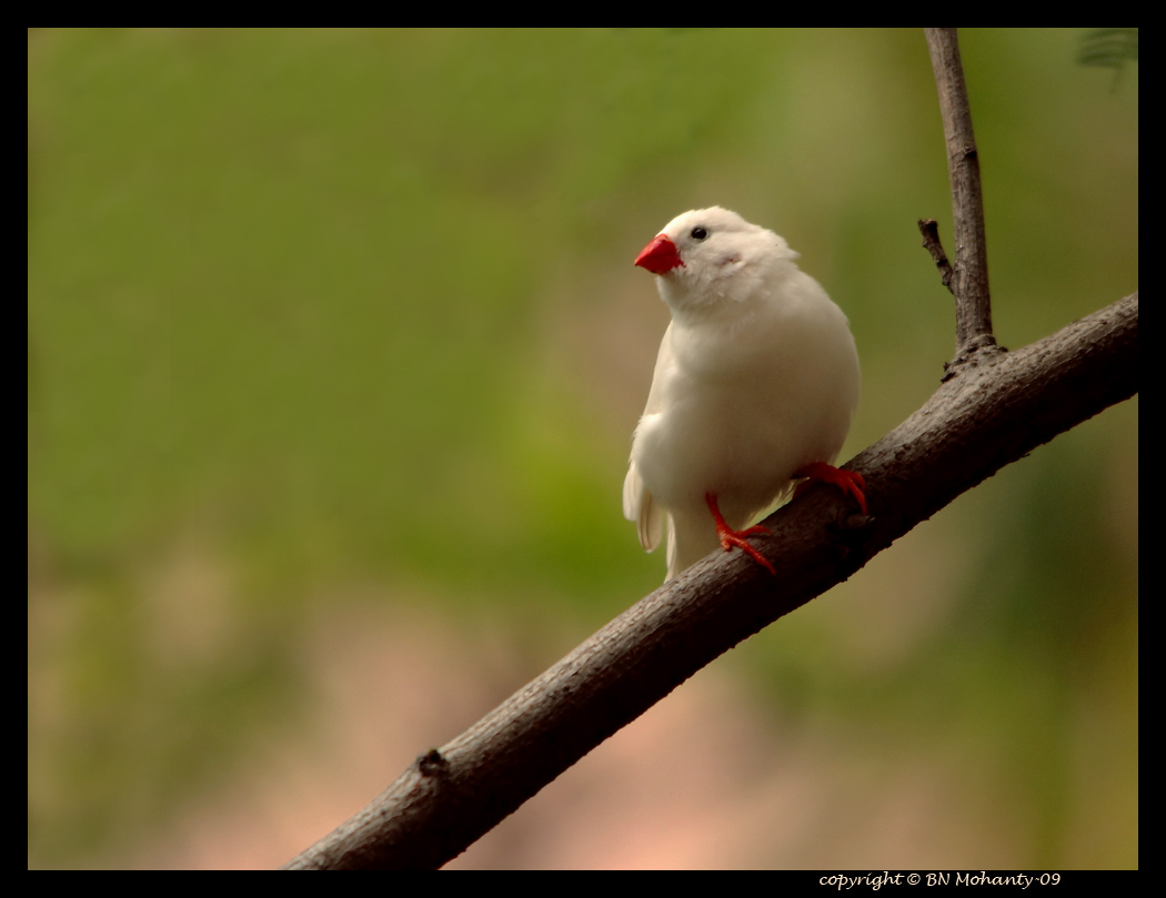 white finch bird