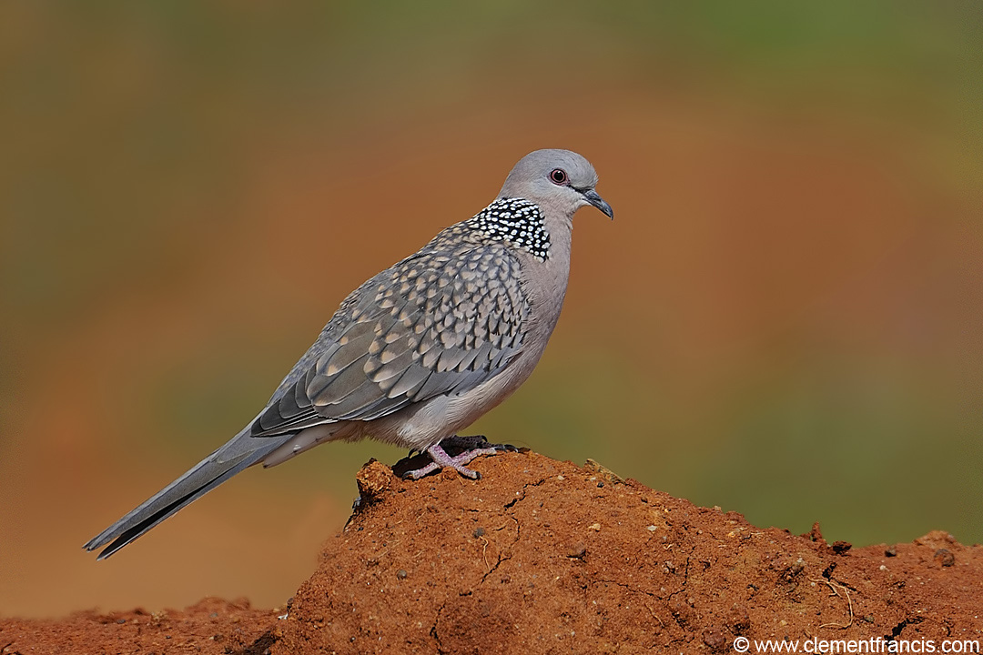 Spotted dove flying - photo#28