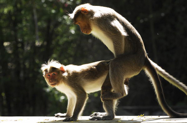 Mating Monkeys And Humans
